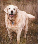 Barry Siebold  It is with a broken heart I announce the passing of my beloved friend coworker constant companion son and all around wonderful dog Barry Siebold he was 13.